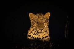Leopards of India