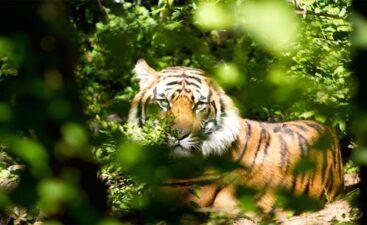 Tiger title image